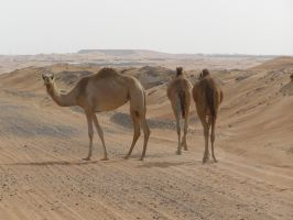 Stock 15 Camels by monarxy-stocks