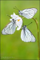 Black Veined Whites by Meneerofongeveer