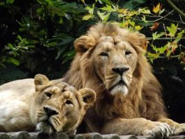 2014 - Asiatic lions 5 by Lena-Panthera