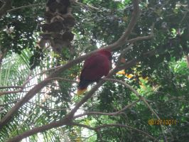 Eclectus parrot by BabyImMeee