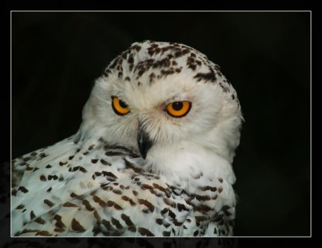 Snowy Owl by Digger36