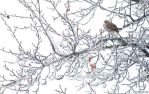 Frozen Mourning Dove by WonderDookie