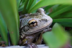 Cuban Tree Frog Matron by Dunkleosteus-noir