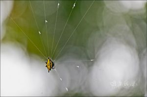 Spiny Orb Weaver by BFGL