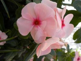 Baby Pink Petunias by PoeticLeo21
