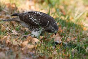 Red Tail Hawk 3 by bovey-photo