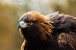 Autumn GoldenEagle by PiTurianer