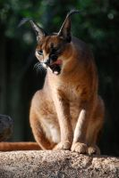 Caracal 2 by Rabastan