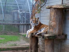 Tiger at Oaklawn Farm Zoo by canadianman000