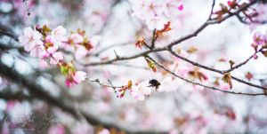 Cherryblossom bumblebee by CJacobssonFoto