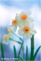 Petite Daffodils by CecilyAndreuArtwork