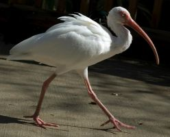 White Ibis by SalsolaStock
