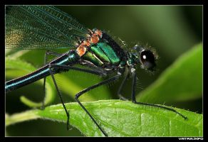 Demselfly at close by IvanAntolic