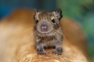 The Little Degu by Vejr