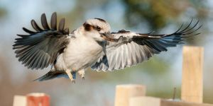 Laughing Kookaburra 07 by 88-Lawstock