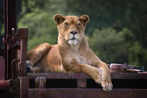Lioness by hockenberry