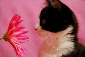 Cat on pink by schumix