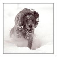 English Setter by TiLa
