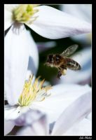 Flying bee by Seb-Photos