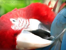 Red and Green Macaw by gracek