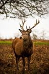 Red Deer Close Up by ChopShopStuK