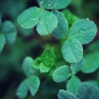 Clovers by Tracys-Place
