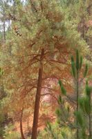 With wind Pine trees are covered by ochre by A1Z2E3R