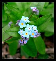 Forget-Me-Blue by The-Shadowed-Angel