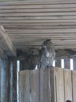 Young Great Horned Owls 4 by Windthin