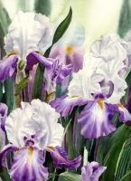 Irises by samster12