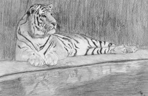 Tiger by river by mikebontoft