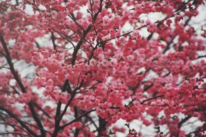 Cherry Blossoms by Estelle-Photographie