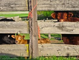 Curious Cows by Know-The-Ropes