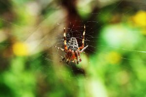 Garden spider by Salumet