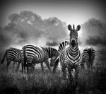 Zebras by middenightflower