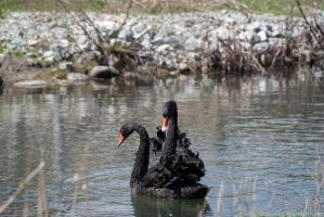 Black Swan : 02 by taeliac-stock