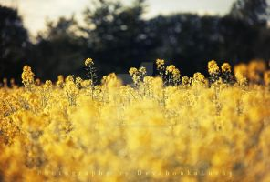 Yellow Field by DevchonkaLucky
