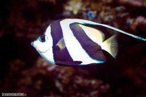 black and white fish. by diamondmarine
