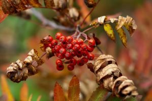 Sorbus aucuparia by organicvision
