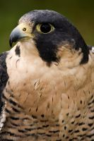 Peregrine Falcon - Captive by Merlinstouch