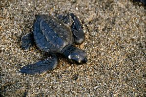 baby sea turtle by pchua