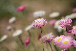 Paper Daisies 2 by montygm