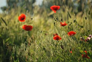 Step one to summer - poppies by Lk-Photography