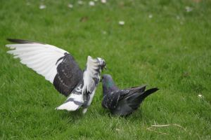 Pigeon fight by CitronVertStock