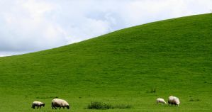 Hill Sheep. by nectar666