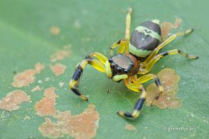 Jumping spider (Thiania sp.) by melvynyeo
