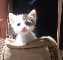 A cat in a handbag by baroquedoll