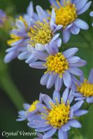 Purple Asters by poetcrystaldawn
