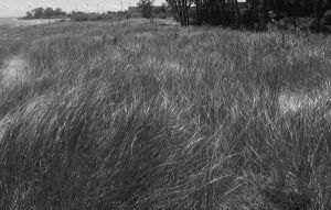 Grass on the Dunes by Salgor