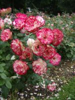 Multicolor Roses July 4 by OsorrisStock